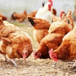 Non-Antibiotic Disinfection in the Poultry Industry