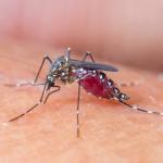 Mosquito Sucking Blood