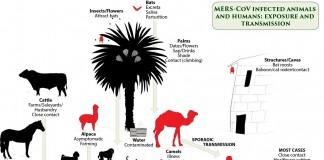 Camels, Cattle and Coronavirus