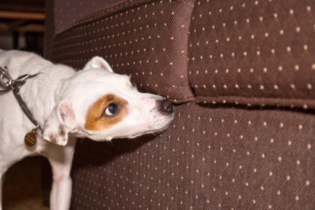 Figure 1: Bedbug sniffing dog