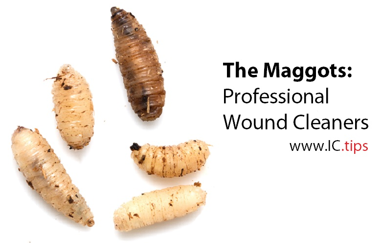 the maggots professional wound cleaners www ic tips